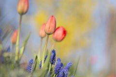Tulpen und Muscaritandem Lizenzfreie Stockbilder