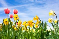 Tulpen und Narzisse Lizenzfreie Stockbilder