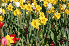 Tulpen und Narzissen Lizenzfreie Stockfotos
