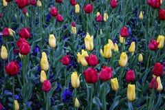 Tulpen und Pansies Stockfoto