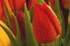 Tulpen und Tröpfchen Lizenzfreies Stockfoto