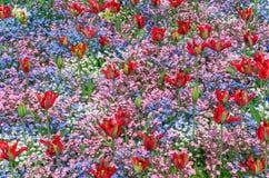Tulpen und Vergissmeinnichte Lizenzfreies Stockfoto