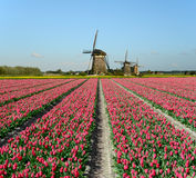 Tulpen und Windmühlen in Holland Lizenzfreie Stockfotos