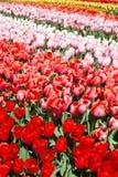 Tulpen van verschillende verscheidenheden in het Keukenhof-park, Lisse royalty-vrije stock foto