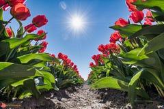 Tulpen velden w Friesland obrazy stock