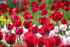 Tulpen in vele kleuren in zonlicht royalty-vrije stock foto