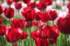 Tulpen in vele kleuren in zonlicht Royalty-vrije Stock Fotografie