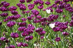 Tulpen in vele kleuren in zonlicht stock fotografie