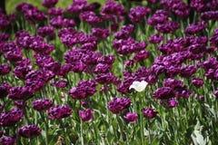 Tulpen in vele kleuren in zonlicht royalty-vrije stock afbeelding