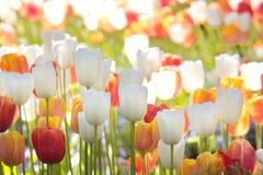 Tulpen in volledige bloei Royalty-vrije Stock Fotografie