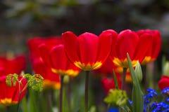 Tulpen in volledige bloei Stock Afbeelding