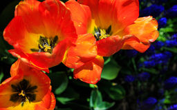 Tulpen in volledige bloei bij NY Washington Park van Albany Royalty-vrije Stock Afbeeldingen