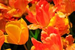 Tulpen in volledige bloei bij NY Washington Park van Albany Royalty-vrije Stock Foto's