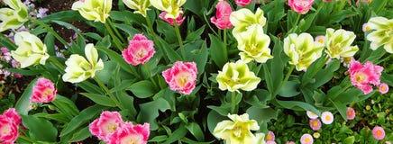 Tulpen von oben Lizenzfreies Stockfoto