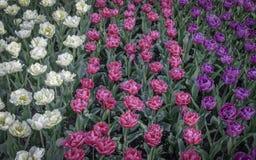 Tulpen von verschiedenen Farben auf einem Feld Stockbilder
