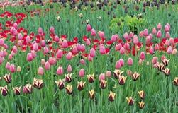 Tulpen von verschiedenen Farben im Stadtgarten lizenzfreies stockbild