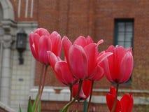 Tulpen voor de bouw Stock Foto's