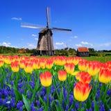 Tulpen wWith niederländische Windmühle, die Niederlande Stockbild