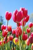 Tulpen. Zachte nadruk. royalty-vrije stock afbeeldingen