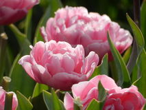 Tulpen zoals rozen Royalty-vrije Stock Foto