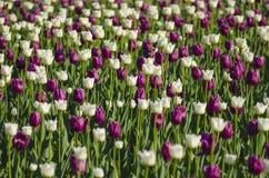 Tulpen in zonlicht Royalty-vrije Stock Foto