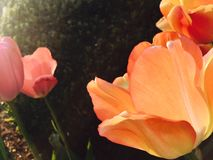 Tulpen in zonlicht Stock Foto's