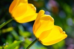 Tulpen in zonneschijn Stock Foto's