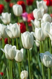 Tulpen Zwiebelgewächssamen Lilienblumen mit großem, schalenförmig Stockfoto