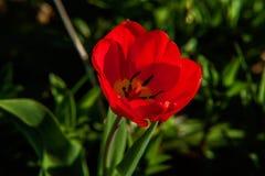 Tulpenbegin om te bloeien knoppen royalty-vrije stock fotografie