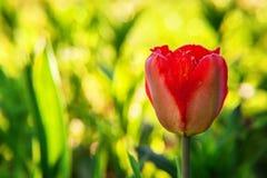 Tulpenbegin om te bloeien knoppen royalty-vrije stock afbeeldingen