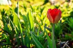 Tulpenbegin om te bloeien knoppen stock afbeeldingen