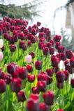 Tulpenbetten im Park Stockbilder