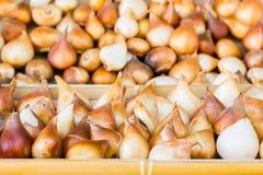 Tulpenbirnen gespeichert in den Kasten-, gesäuberten und vorbereitetenbirnen für das Pflanzen Stockfotografie