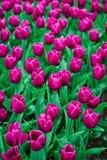Tulpenbirnen, Keukenhof-Garten, Holland stockfoto
