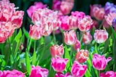 Tulpenblüte im Garten mit Linse unscharfem Effekt als Vordergrund und Hintergrund, einigem in Folge und etwas von ihr verbreitete stockfotografie