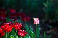 Tulpenblüte im Garten mit Linse unscharfem Effekt als Vordergrund und Hintergrund, einigem in Folge und etwas von ihr verbreitete lizenzfreies stockbild