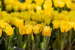 Tulpenblüte im Garten mit Linse unscharfem Effekt als Vordergrund und Hintergrund, einigem in Folge und etwas von ihr verbreitete lizenzfreie stockfotografie
