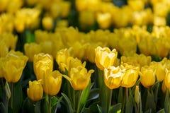 Tulpenblüte im Garten mit Linse unscharfem Effekt als Vordergrund und Hintergrund, einigem in Folge und etwas von ihr verbreitete stockbilder