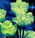 Tulpenblüte mit ihren empfindlichen Blumenblättern Die leuchtende grüne addierte Farbe schafft einen glühenden Effekt Stockfoto