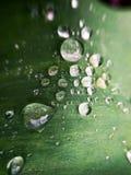 Tulpenblad met waterdruppeltjes in de tuin royalty-vrije stock foto