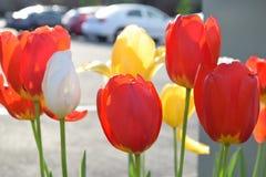 Tulpenbloei in de lente stock afbeeldingen
