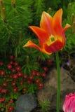 Tulpenbloem die in zonlicht op achtergrondtulpenbloemen bloeien stock foto