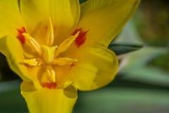 Tulpenbloem met gescheiden bloemblaadjes op een close-up royalty-vrije stock foto's