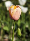 Tulpenbloem met onduidelijk beeldachtergrond Royalty-vrije Stock Afbeeldingen