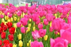 Tulpenbloemen Royalty-vrije Stock Afbeeldingen