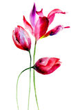 Tulpenbloemen Stock Foto's