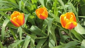 Tulpenbloemen die in de lente bloeien Kleurrijke tulpenbloei die in de wind slingeren Langzame horizontale motie stock videobeelden