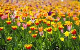 Tulpenbloemen en bomen op achtergrond in de lente Nederland, Europa Stock Afbeeldingen