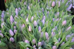 Tulpenbloemen het winkelen Stock Foto's