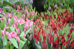 Tulpenbloemen het winkelen Royalty-vrije Stock Foto's